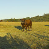 Cow grazing in Chile Royalty Free Stock Photography