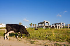 Cow grazing on construction site Stock Photo