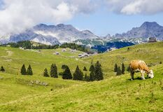 Cow Grazing in Countryside Valley Royalty Free Stock Images
