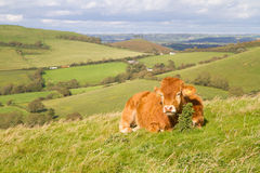 Cow grazing in Dorset field. Cow grazing in Dorset countryside Royalty Free Stock Photo