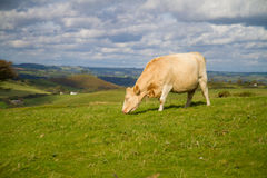 Cow grazing in English countryside. Cow grazing in Dorset countryside against a blue sky Stock Photo