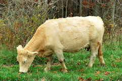 Cow Grazing at the Farm Stock Photography