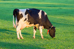 Cow grazing farm cattle Royalty Free Stock Photos