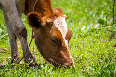 Cow grazing on a farm Royalty Free Stock Image