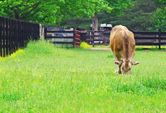 Cow grazing in a farmers field Royalty Free Stock Photo