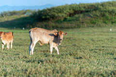 Cow grazing on farmland. Stock Images