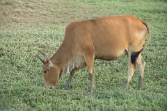 Cow grazing on farmland. Stock Photography