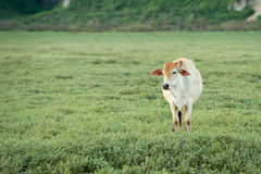 Cow grazing on farmland. Royalty Free Stock Photo