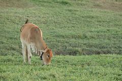 Cow grazing on farmland. Royalty Free Stock Images