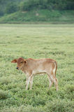 Cow grazing on farmland. Stock Image