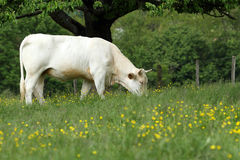 Cow grazing in field Stock Photography