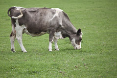Cow grazing in field. Grey and white cow grazing in field Stock Photos