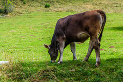Cow grazing Royalty Free Stock Image