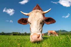 Cow grazing in a field Stock Photography