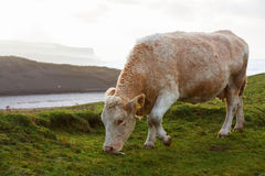 Cow grazing in the field Stock Photos