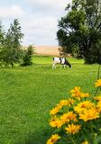 Cow grazing on field Royalty Free Stock Photos