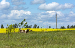 Cow grazing in field with green grass and yellow flowers. Blue sky with clouds ,countryside Stock Image