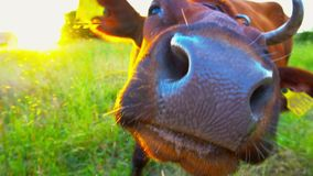 Cow grazing in field. Milk cow eating grass. Rural sunset with cow close up slow motion. Brown cow at summer green field. stock video footage