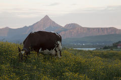 Cow grazing field. Cow grazing in field with mountain lit by midnight sun in background Royalty Free Stock Photography