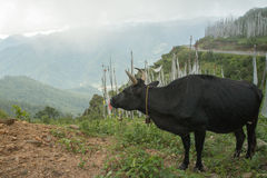 Cow grazing in the field, paro, bhutan Royalty Free Stock Photography
