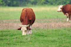 Cow grazing in a field Royalty Free Stock Photos