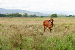 Cow is grazing in the field Stock Images