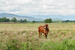 Cow is grazing in the field Royalty Free Stock Photos
