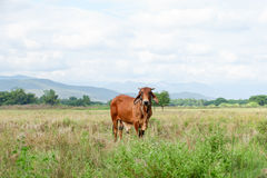 Cow is grazing in the field Royalty Free Stock Images