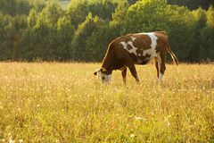 Cow grazing in a field Royalty Free Stock Photo