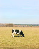 Cow grazing on fields Royalty Free Stock Photography