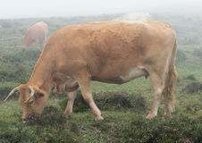 Cow grazing in the fog Stock Images