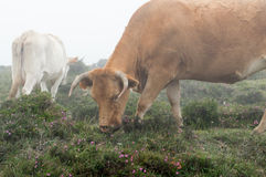 Cow grazing in the fog Royalty Free Stock Photography