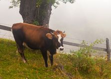 Cow grazing in a foggy meadow in Holland Royalty Free Stock Photo