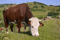 Cow grazing in French Alps Stock Images