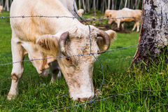 Cow grazing in French Polynesia Stock Image