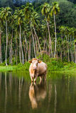 Cow grazing in French Polynesia Stock Photos