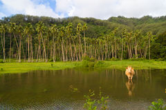 Cow grazing in French Polynesia Royalty Free Stock Images