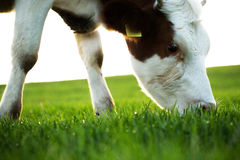 Cow grazing in fresh pastures Royalty Free Stock Image