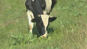 Cow grazing in fresh pastures stock footage