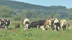 Cow grazing in fresh pastures stock video