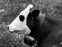 A cow grazing in Friuli Royalty Free Stock Photos
