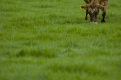 Cow grazing on grass. Cow grazing in green grassy paddock with blurred foreground Stock Photo