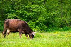Cow grazing on the grassy meadow near the forest. Lovely rural scenery stock image