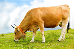 Cow grazing in a green field royalty free stock photo