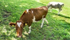 Cow grazing on a green field. Details shot fair farm vet stock photos