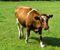 Cow grazing on a green field fair farm Royalty Free Stock Image