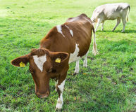 Cow grazing on a green field fair farm Stock Photography