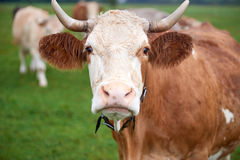 Cow grazing on a green field Royalty Free Stock Photo