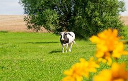 Cow grazing on a green field Royalty Free Stock Photos
