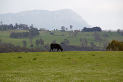 Cow. A cow grazing  among green grass Royalty Free Stock Photos